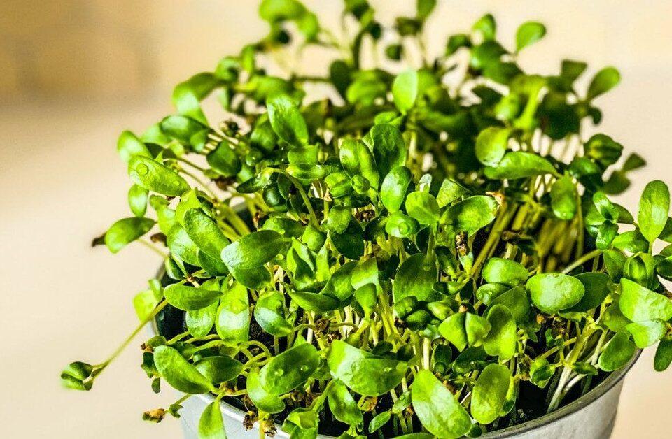 Cress Seed Oil