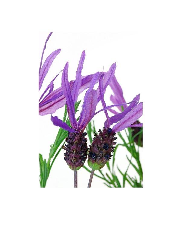 Lavender Pure Essential Oil
